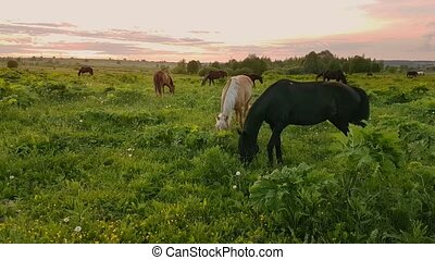 Horses grazing in the meadow at sunset - Horses are grazing...