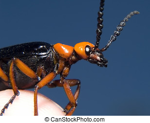 Arizona Blister Beetle - An Arizona Blister Beetle perched...