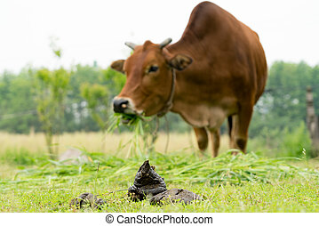close up cow dung, cow pats, cow pies, cow manure