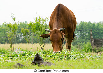 the brown cow grazing the grass on the field with cow manure
