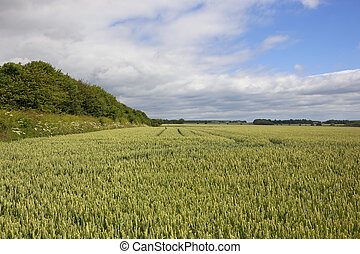 wheat field and hedgerow - a green wheat field with...