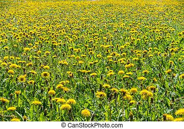 Endless dandelion meadow in sunlight. Sea of flowers.