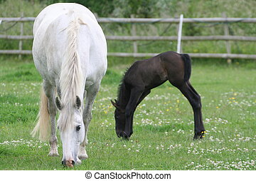 Horse and foal - Horse foal