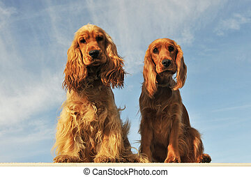 couple of english cocker - portrait of a couple of purebred...