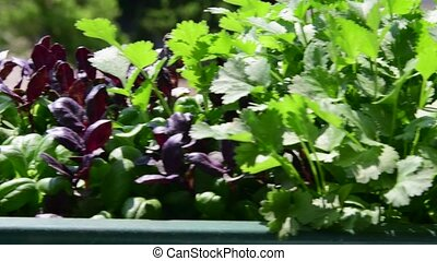 Herbs and begonias in flower box. View on flower box on...