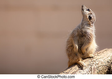 Cute animal nature image with copy space. Meerkat looking up...