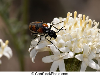 Arizona Blister Beetle climbing - A Blister Beetle native to...