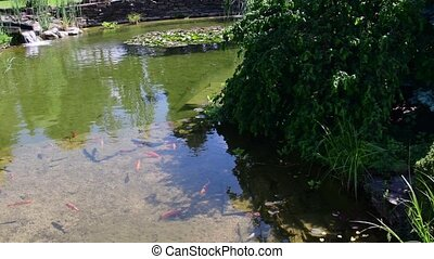 Koi carps, koi fishes in the piece of water. Garden small lake with koi carps