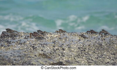 Crabs on the rock at the beach, rolling waves, close-up