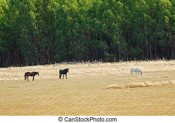 Brown Black White horse nibbling grass in the field,...
