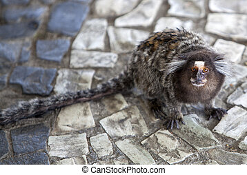 Marmoset - A small marmoset that can be seen in Brazil.