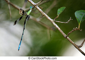 Image of a dragonflies (Orolestes octomaculatus) on nature...