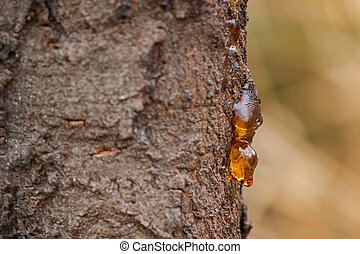 Dripping sap, natural gum tree resin on bark with blurred...