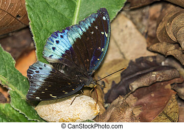 Image of Common Archduke Butterfly(male) (Lexias pardalis...