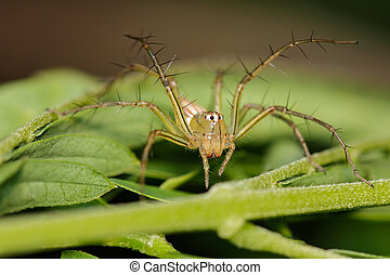 Image of Oxyopidae Spider (Java Lynx Spider / Oxyopes cf....