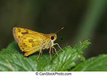 Image of telicota ohara butterfly (Narrow-branded Palm Dart...