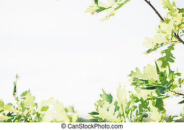bright sun shines through oak leaves. Natural background