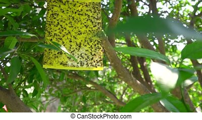 Insect trap on a tree in park on Cyprus - Adhessive tape...