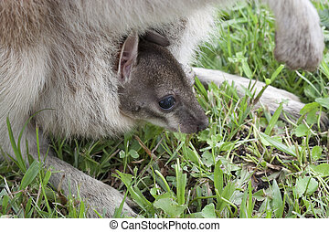 close up of joey in mothers pouch - mum wallaby with baby...
