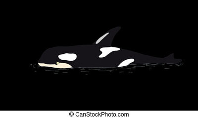 Killer Whale in the Water. Animated footage with alpha...