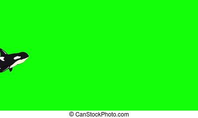 Killer Whale Underwater isolated on Green Screen - Killer...