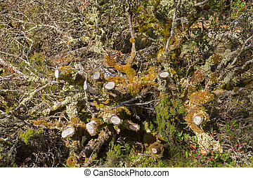 Leaflike Lichen and moss growing on dead branches in forest...