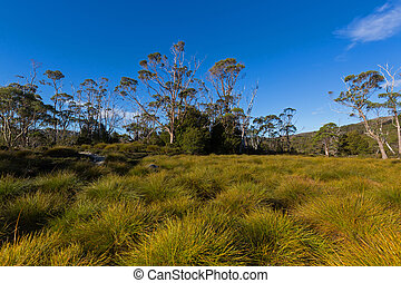 Buttongrass moorland and tall gum trees against blue sky at...