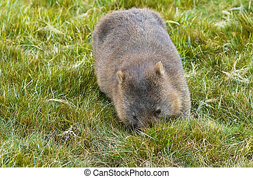Brown Common Wombat grazing grass for dinner at Cradle...