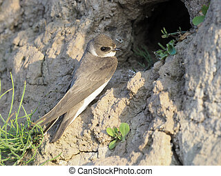 Sand martin, Riparia riparia, single bird at nest,...
