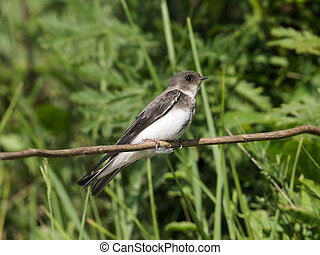 Sand martin, Riparia riparia, single bird on branch,...