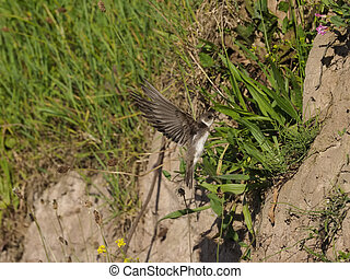 Sand martin, Riparia riparia, single bird in flight,...
