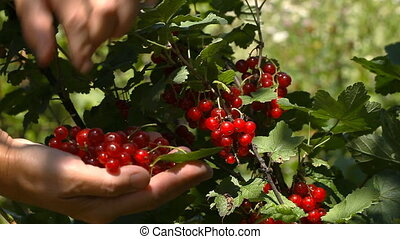 Female hands tear red currant berries
