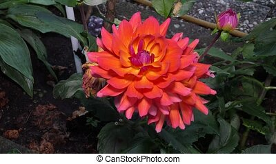 large Burgundy with delicate petals of a Dahlia growing in...