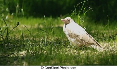 White crow sitting on the grass