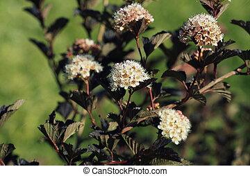 Ninebark or Physocarpus opulifolius shrub bloosom in garden. Dwarf shrub with deep red foliage for landscape gardening
