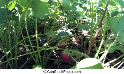 gathering pick up ripe red strawberry in the ukrainian...