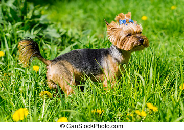 Yorkshire terrier looking at owner in green grass