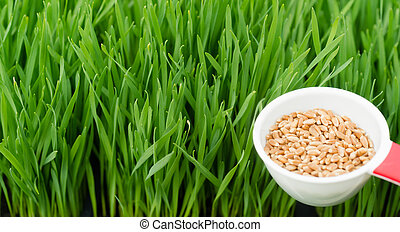 Microgreens Growing Panoramic Wheatgrass Blades Scoop Red...