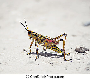 Southeastern Lubber Grasshopper walking on a road