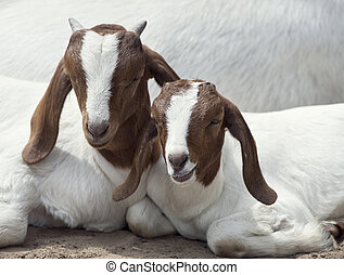 Two Young Goats - Two Young Boer Goats resting