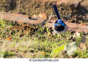 Cute little Superb Fairy Wren, Blue wren male bird with...