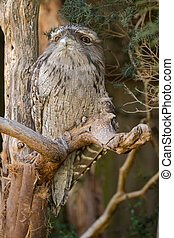 Tawny frogmouth with tufts perching on tree branch, native...