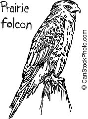 Prairie folcon - vector illustration sketch hand drawn with...