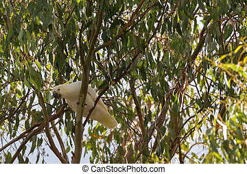 Sulphur crested cockatoo white bird with yellow crest, black...