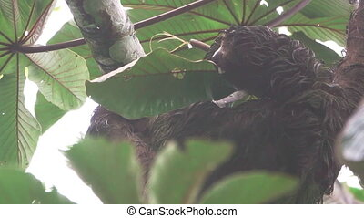 Sloth eating leafs - Long shot of sloth eating leafs,...