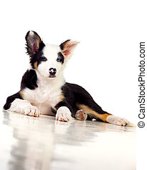 Black and White Border Collie Dog