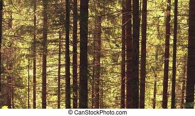 Steadicam shot of a fir tree European forest in summer