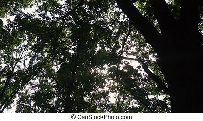 Looking up at green leaves in the woods