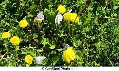 white cabbage butterfly, cabbage white or cabbage moth on a flower. Pieris brassicae