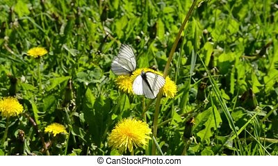 white cabbage butterfly, cabbage white or cabbage moth on a...